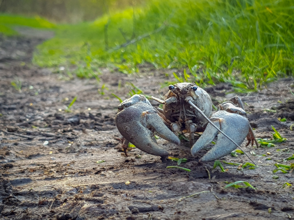A crayfish walking along a canal towpath